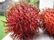fruto do rambotão